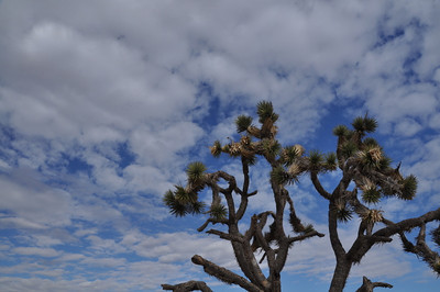 I love the joshua tree. They remind me of the Lorax's Truffula tree.