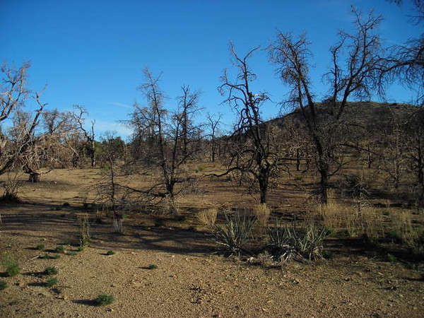 Burnt pines at the campground.<br /> <br /> Last summer a fire came through the area, burning most of the vegetation. It is an eerie place now, but still made for a great campsite.