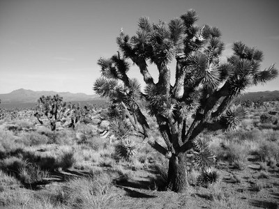 Joshua Trees  Mojave is filled with 'em.