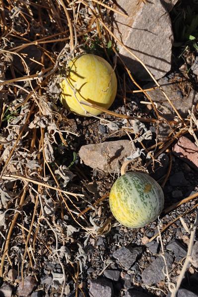 Coyote Melon
