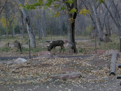 A family of deer in Zion