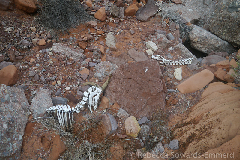 Found the remains of this poor sheep in the bottom of the canyon. Mountain Lion snack?