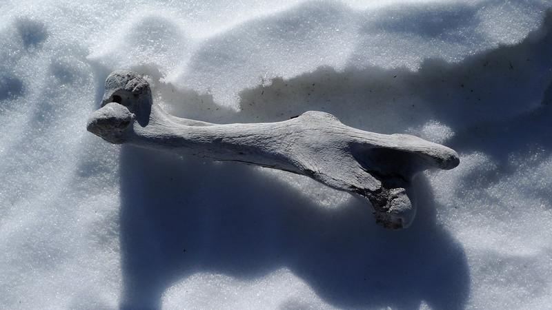 Large (horse?) bone on the snow near the white mountain trail.