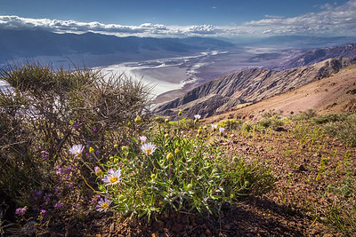 Desert Aster and Badwater Basin