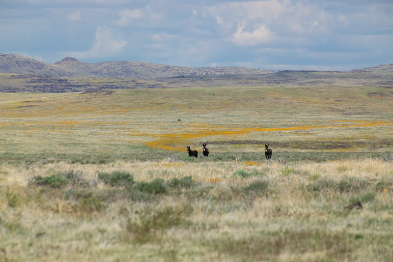 Wild Burro's in the Smoke Creek Desert