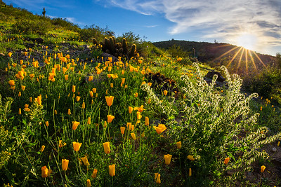Mexican Gold Poppies, South Mountain