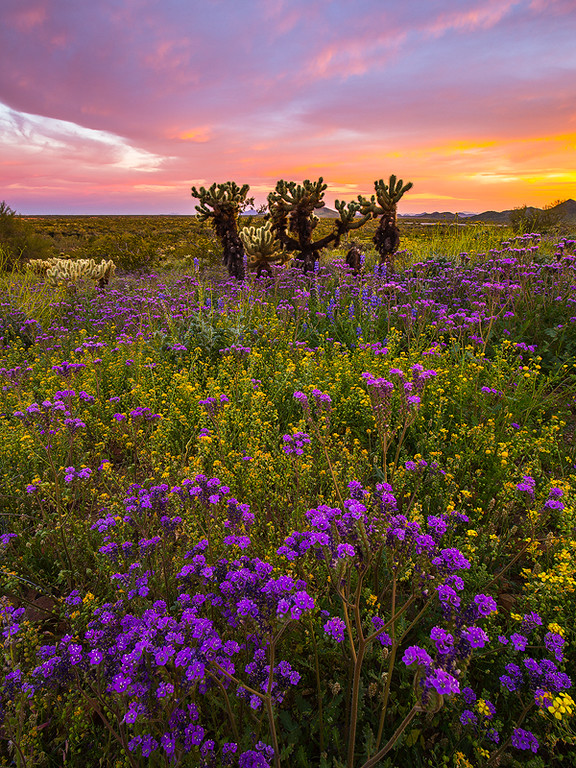 Scorpion Weed, Sonoran Desert Preserve