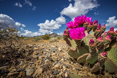Ash Meadows Prickly Pear - IV