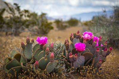 Ash Meadows Prickly Pear - I