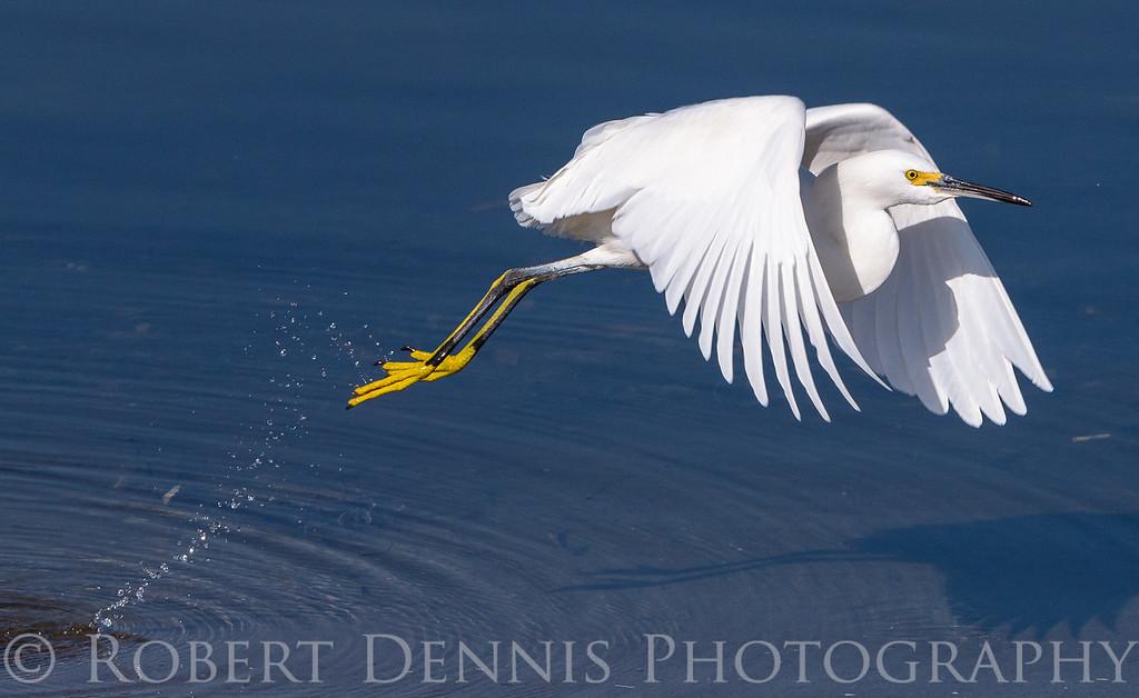 Egret Takeoff