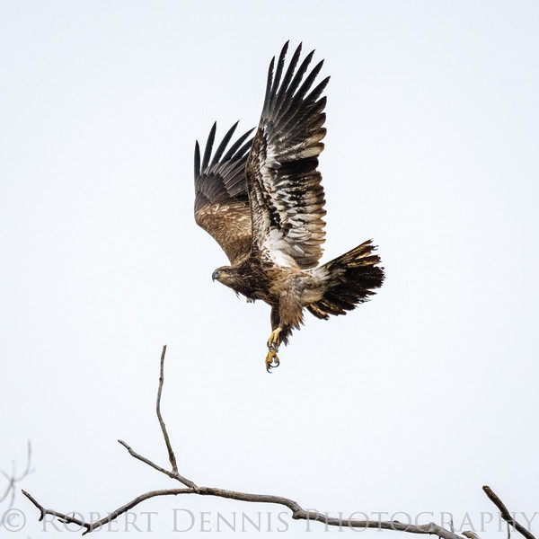Bald Eagle chase at BK Leech Conservation Area
