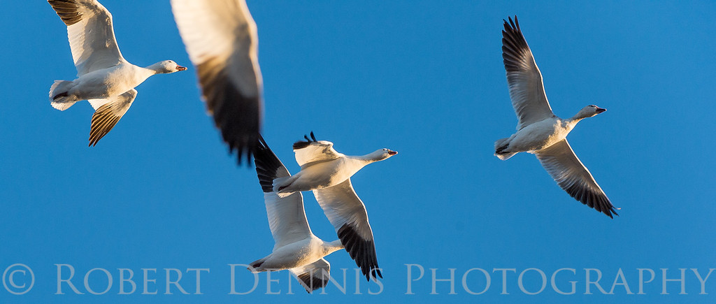 Snowgeese at Bosque del Apache, NM