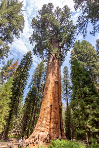 sequoia-4087