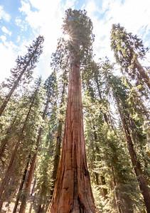 sequoia-4069