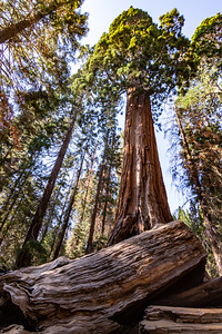 sequoia-3183