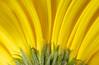 Close up on yellow gerber