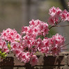 Pink Azalias over the brick wall