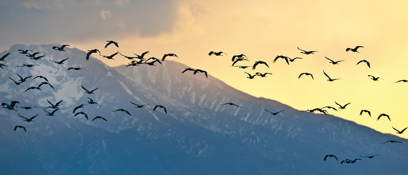 Sand Hill Cranes flying into the sunrise.