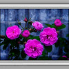 Pink Roses, Photography   Rictographs Images