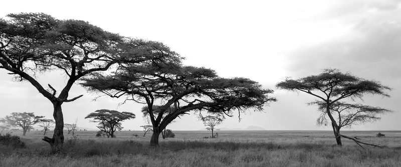 Acacia Trees on the Serengeti I
