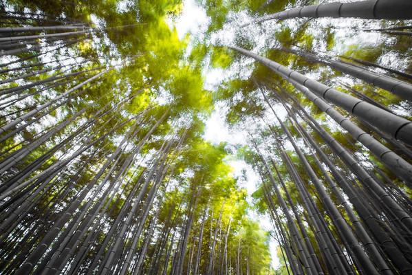 Bamboo Painting • Kyoto