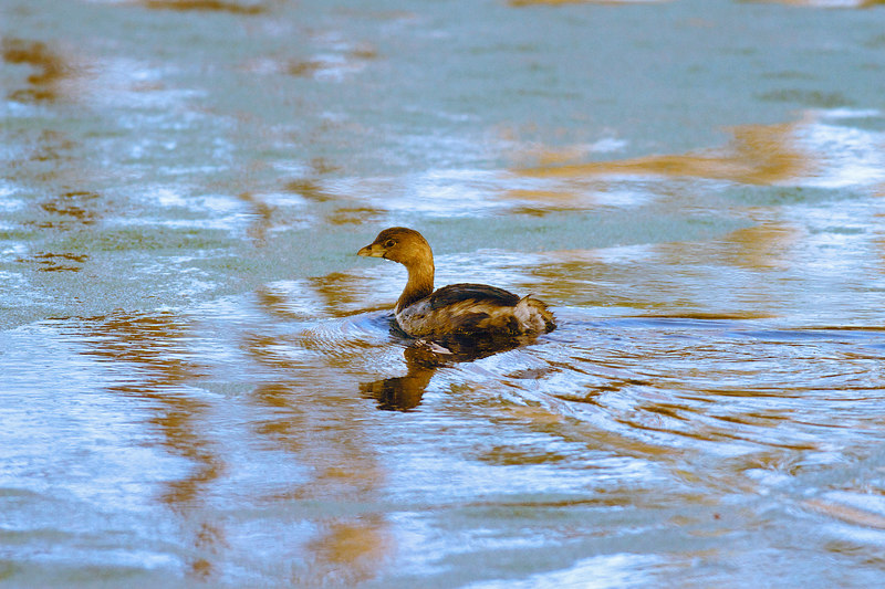 Pied Billed Grebe: photo taken Monday 2/?/2007.  Breeding colors<br /> <br /> Different ways I worked it up on diff days.  The first time, third photo down, I tried to minimize the background and separate the bird, this one here, full frame, I tried to accentuate the background.<br /> <br /> I actually have no clue what I should do.  I like the photo, like the background.  The photo shows the bird as brown.<br /> <br /> So, I am putting these up today, Friday.  <br /> <br /> ginger (slept early and long, thru fears of bad weather)