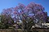 Jacaranda tree 2009 11 10 5DII