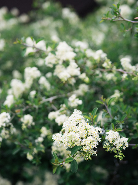 Mountain whitethorn