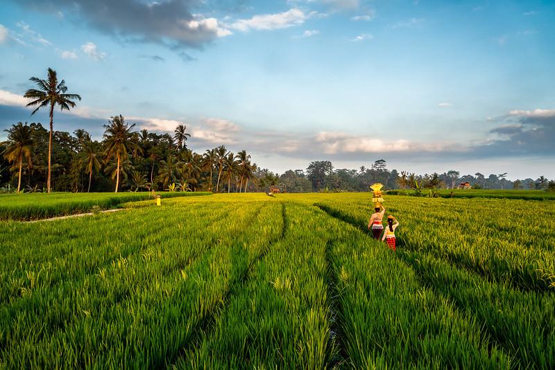 Rice Fields-08