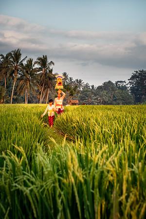 Rice Fields-05