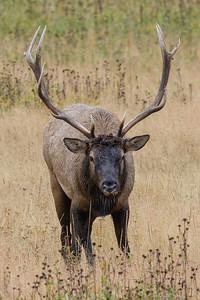 Bull Elk - Yellowstone 2015