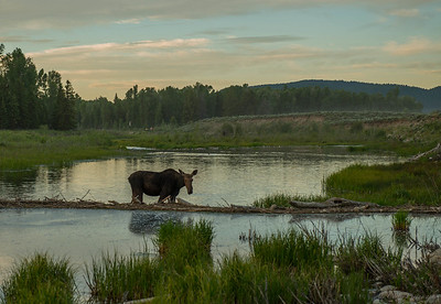 Female Moose at Schwabacker Landing, Grand Teton National Park