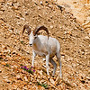 Dall Sheep near Denali Park Road and Polychrome Pass within Denali National Park (USA Alaska Denali Park)