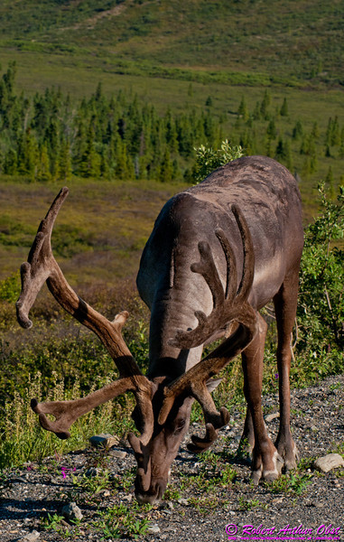 Summertime hikers and bicyclers and bus riders view of Rangifer tarandus or Reindeer - AKA Caribou in North America - along the travel restricted Denali Park Road between park headquarters and Wonder Lake within Denali National Park (USA Alaska Denali Park; Obst FAV Photos 2011 Nikon D300 Image 0419)
