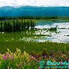 Following a Path from the Past - View from the historical Richardson Highway or Alaska Highway 4 of Moose grazing in backwaters of the Delta River Valley near Donnelly between Fairbanks and Paxson (USA Alaska Donnelly; Obst FAV Photos 2011 Nikon D300 Image 0485)
