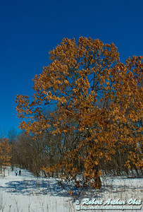 Perfect blue skies umbrella snowshoers as they approach a lovely oak or Quercus on a gorgeous winter day within Owen Conservation Park (USA WI Madison; Obst FAV Photos 2013 Destinations Wild Scenic Nikon D800 Image 8281)