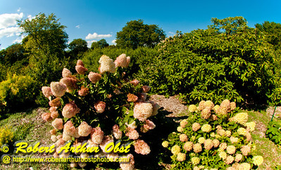 Hikers and nature lovers often enjoy views during summertime of blooming Little Lime Panicle Hydrangea plants within Longenecker Gardens of the University of Wisconsin Madison Arboretum (USA WI Madison)