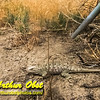 DWS-Hiking_6739_ATO.WestUSACanada2014-USA.ID.Eagle.MNSnakeRiverBirdsOfPreyNCA.DesertLizard-B (DSC_6739.NEF)