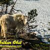 DWS-Hiking_7170_ATO.WestUSACanada2014-USA.MT.GlacierNP.LoganPassArea.HiddenLakeNatureTrail.MountainGoat-B (DSC_7170.NEF)