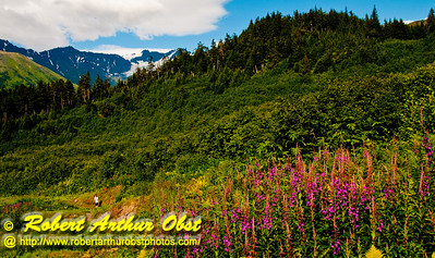 Hiking the North Face Trail past fireweed and forests and mountains on the slopes of Mount Alyeska near the Alyeska Resot (USA Alaska Girdwood)