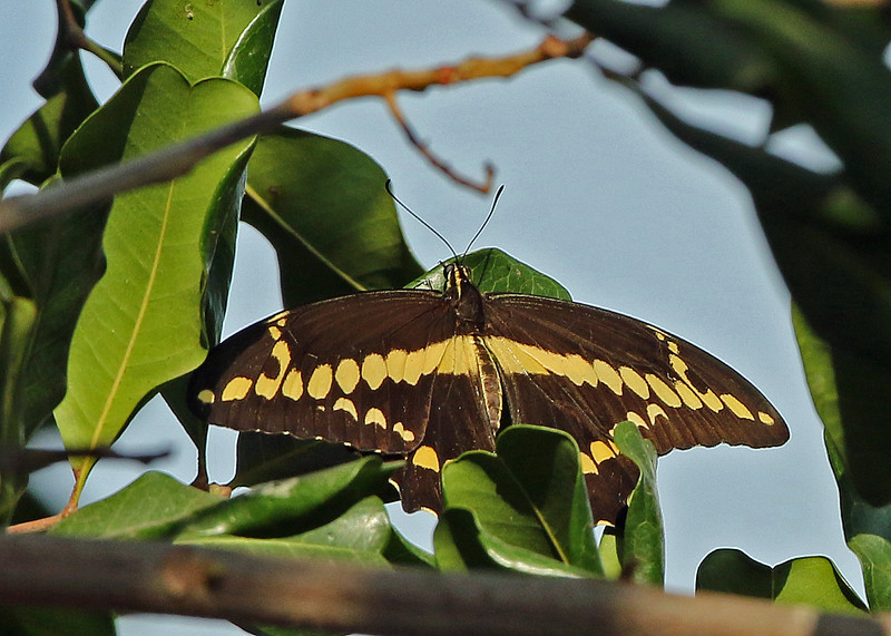 Western Giant Swallowtail