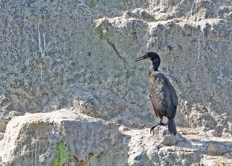 Brandt's Cormorant