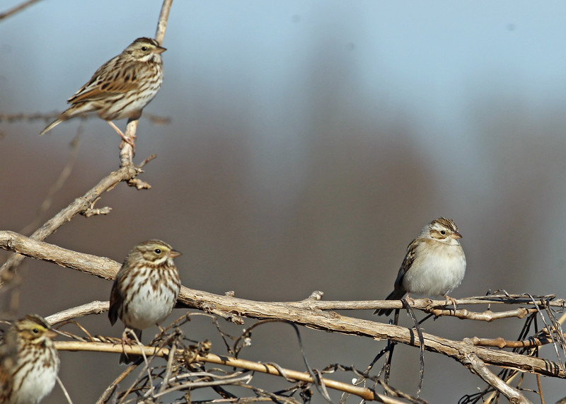 Savannah Sparrows & Clay-colored Sparrow