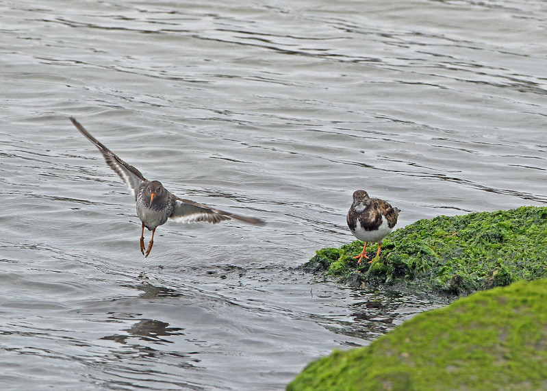 Ruddy Turnstone & Purple Sandpiper