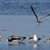Skimmer, Black & Gull, Laughing 2018-02-07 Florida 311-1