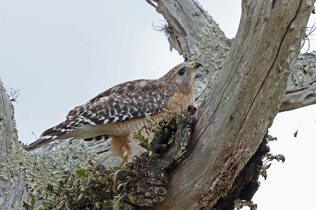Hawk, Red-shouldered 2018-02-07 Florida 279-1