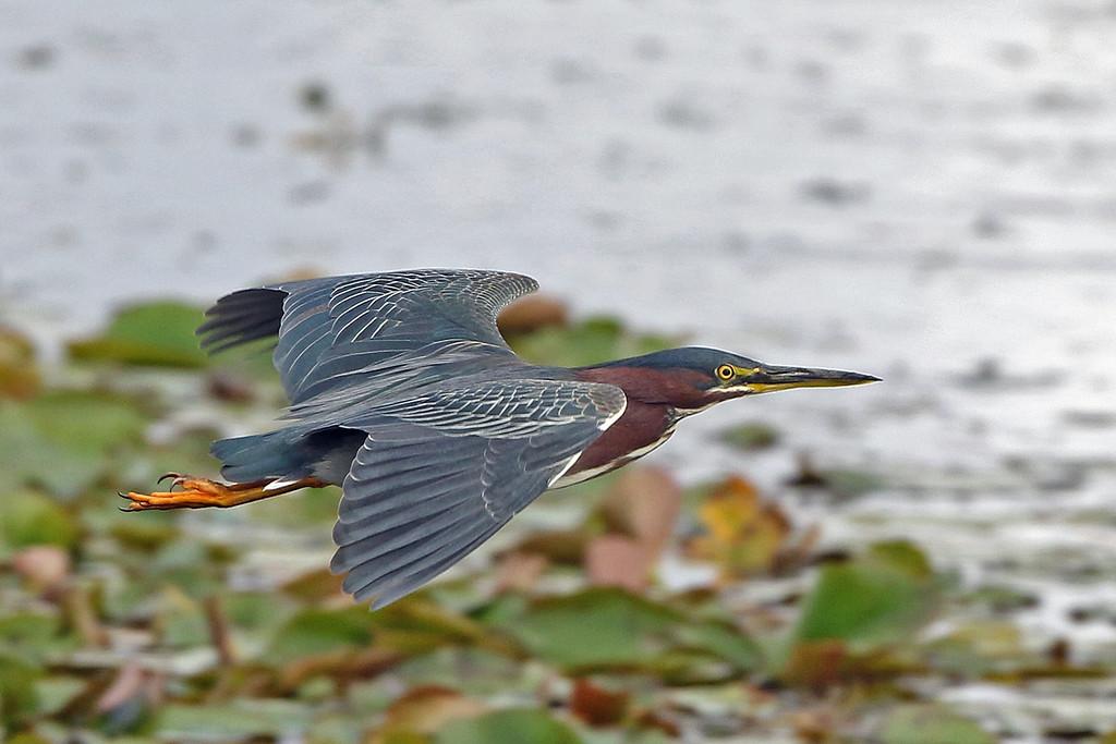Heron, Green 2018-02-07 Florida 247-1