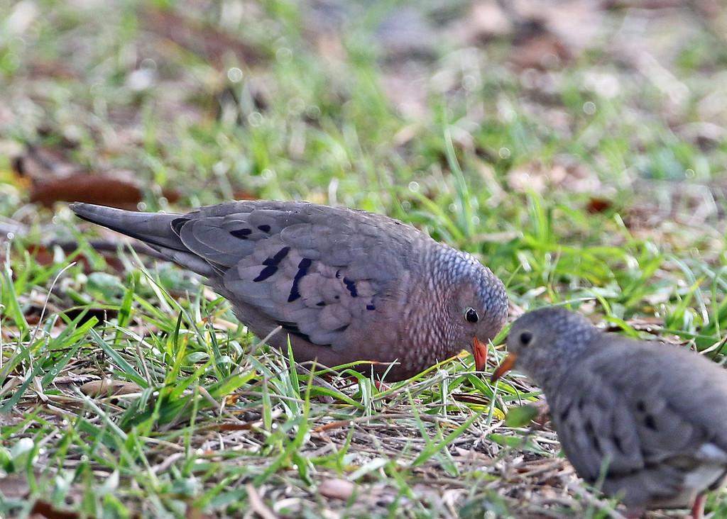Dove, Common-Ground 2018-02-07 Florida 147-1