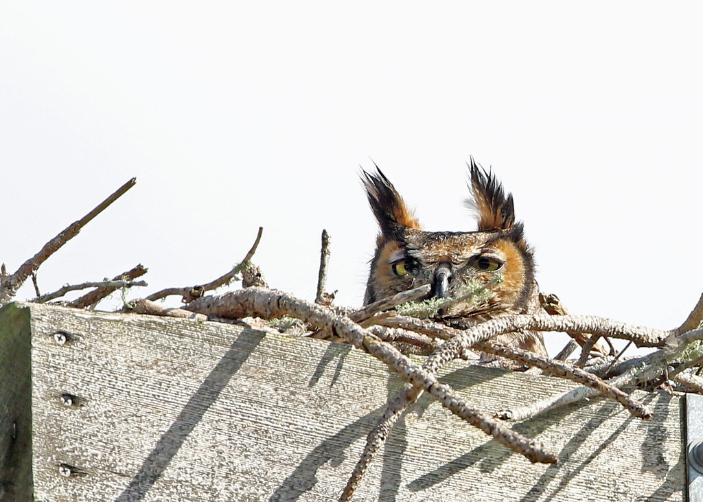 Owl, Great-horned 2018-02-07 Florida 474-1