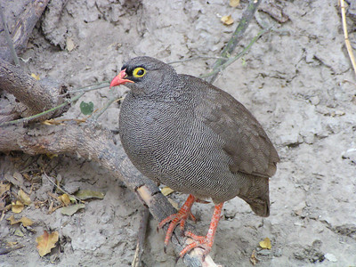 Red-billed Francolin (Pternistis adspersus)
